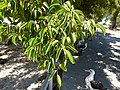 Starr-150326-0904-Ficus benjamina-leaves and Laysan Albatrosses-Town Sand Island-Midway Atoll (24640336543).jpg