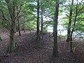 Starr-160717-0171-Taxodium distichum-grove-Green Cay Nature Center Boynton Beach-Florida (29586724141).jpg