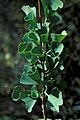Starr-980528-4086-Ginkgo biloba-leaves-Kula Experiment Station-Maui (24431283491).jpg