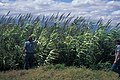 Starr-980706-1532-Arundo donax-habit with Lloyd-Stable Rd Spreckelsville-Maui (23895313154).jpg