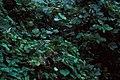 Starr-981208-2616-Pueraria montana var lobata-habit-Honomanu-Maui (24498303236).jpg