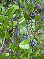 Starr 031108-2131 Pinus elliottii.jpg