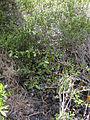 Starr 040131-0038 Melicope adscendens.jpg
