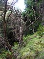 Starr 041221-1878 Sophora chrysophylla.jpg