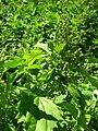 Starr 050222-4156 Chenopodium murale.jpg