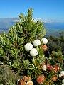 Starr 050815-3331 Leptecophylla tameiameiae.jpg