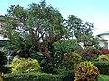 Starr 070221-4770 Erythrina crista-galli.jpg