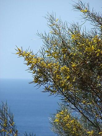 Acacia aneura - Mulga acacia (Fabaceae) Flowers and leaves at Kaumalapau Hwy, Lanai, Hawaii.