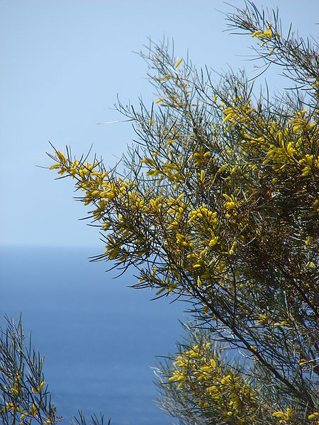 fleurs du mimosa mulga