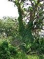 Starr 070405-6810 Coccinia grandis.jpg