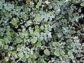Starr 070906-8465 Helichrysum petiolare.jpg