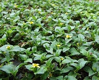 <i>Calyptocarpus vialis</i> Species of plant