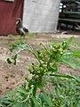 Starr 080609-7856 Chenopodium murale.jpg