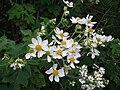 Starr 081230-0097 Montanoa hibiscifolia.jpg