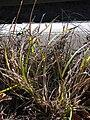 Starr 090213-2469 Unknown cyperaceae.jpg