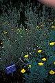 Starr 980602-4406 Leucophyllum frutescens.jpg