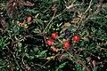 Starr 990119-3229 Rubus argutus.jpg
