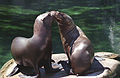 Steller Sea Lions(Vancouver)05(js).jpg