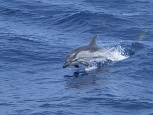 Ligurian Sea Cetacean Sanctuary - Image: Stenella striata