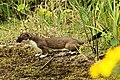 Stoat - RSPB Sandy (28596785111).jpg