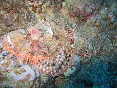 Stonefish in Red Sea (with flash).jpg