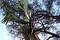 Strelitzia alba im Botanischen Garten von Funchal, Madeira II.jpg