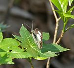 Striped Albatross (Appias libythea) at Jayanti, Duars, West Bengal W Picture 159.jpg