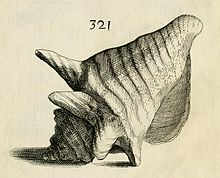 An antique-looking illustration, numbered 321, showing a large, apparently left-handed, sea snail shell with knobs on the shoulders of the whorls