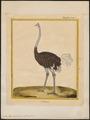 Struthio camelus - 1700-1880 - Print - Iconographia Zoologica - Special Collections University of Amsterdam - UBA01 IZ18900015.tif