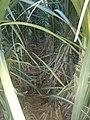 Sugarcane 50 11 variety.jpg