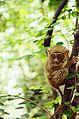 Sulawesi Tarsier.jpg