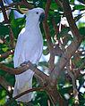 Sulphur-crested Cockatoo (Cacatua galerita) (9757656343).jpg