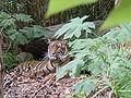 Sumatran Tiger 3.jpg