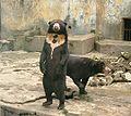 Sun bear medan old zoo standing.jpg