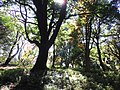 Sunbeams streaming through leaves in the Koishikawa Botanical Gardens PC120037.jpg