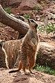 Suricata suricatta (6337862172).jpg