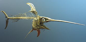 Rangka ikan todak di National Museum of Natural History , Washington