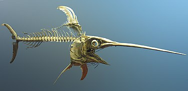 Swordfish skeleton.jpg