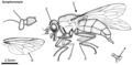Symphoromyia-Snipe-fly-adult.tif