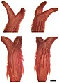 Synophis zamora 3.jpg