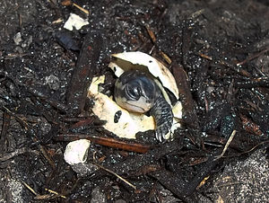 Box turtle - T.c.bauri hatchling