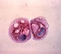 T. pyriformis hosting L. pneumophila.png