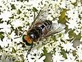 Tabanidae - Philipomyia aprica (male).JPG