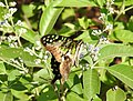 Tailed Jay Graphium agamemnon by Raju Kasambe DSCN3113 (2).jpg