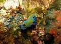 Tambja nudibranch - Poor Knights Islands - 4329150786.jpg