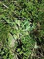 Taraxacum serotinum sl35.jpg
