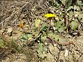 Taraxacum serotinum sl73.jpg