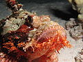 Tassled scorpionfish at Shaab Claudia.JPG