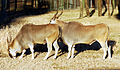 Taurotragus oryx - Disney's Animal Kingdom Lodge, Orlando, Florida, USA - 2010-01-19 - 02.jpg