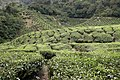 Tea plantations 2, Cameron Highlands, Malaysia.jpg